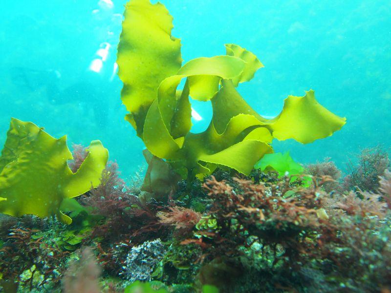 しっかりと根付いた海藻。