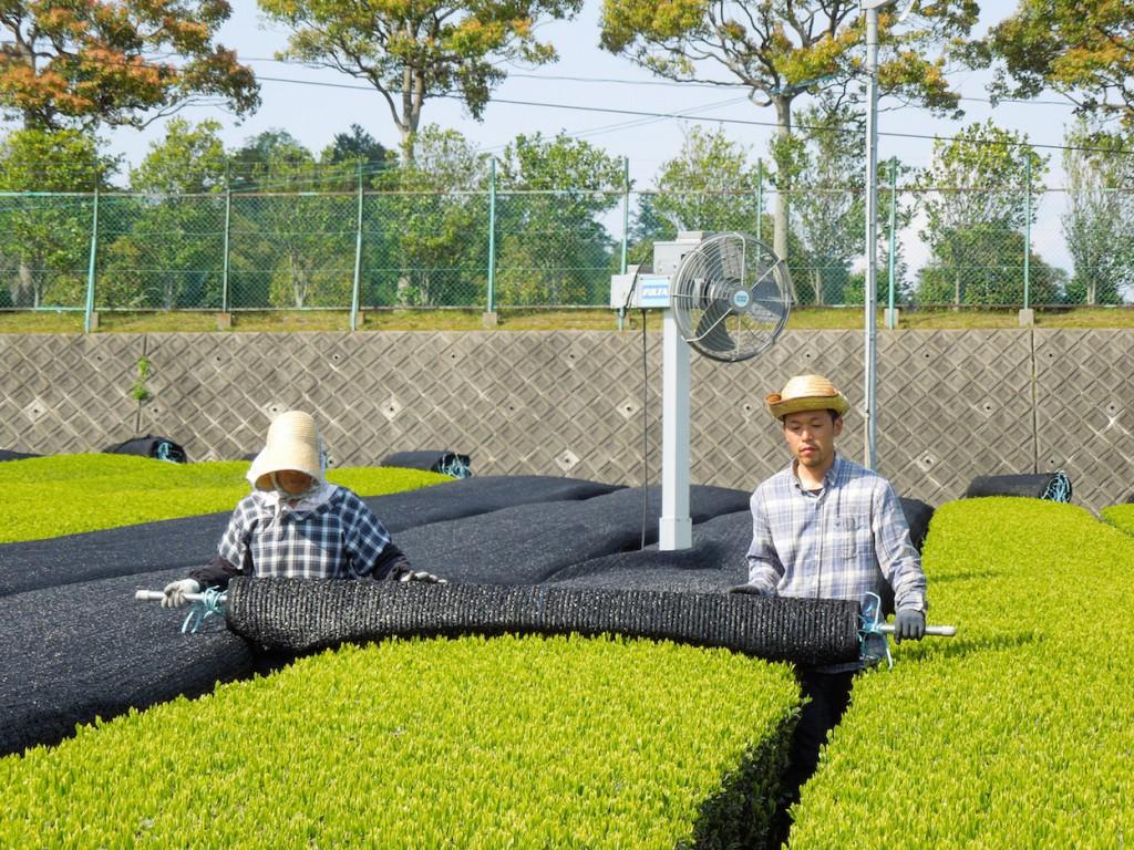 かぶせ茶の栽培