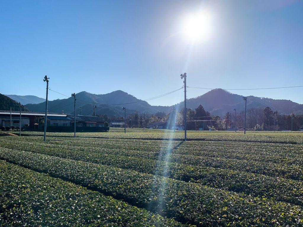 度会町 茶畑風景 明るい