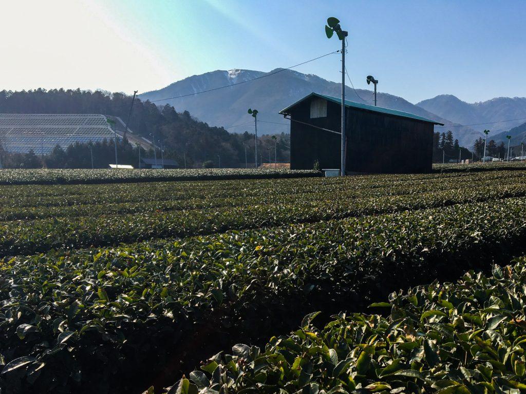 四日市市水沢 茶畑風景