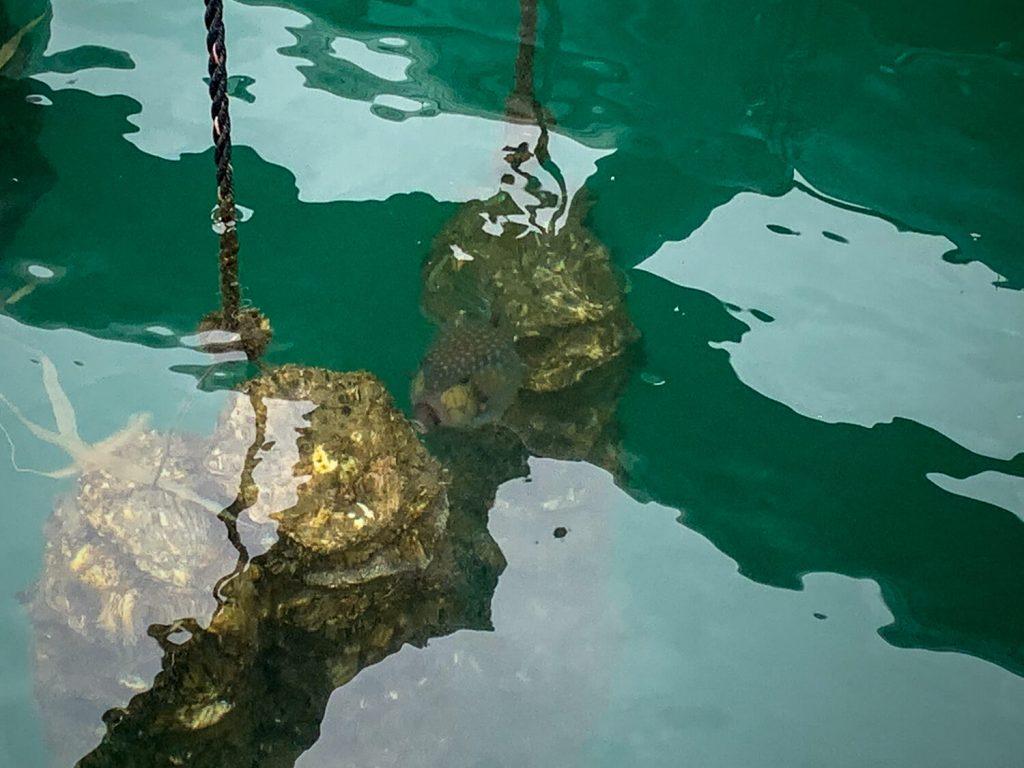 牡蠣の種差し 牡蠣の天敵 ハコフグ