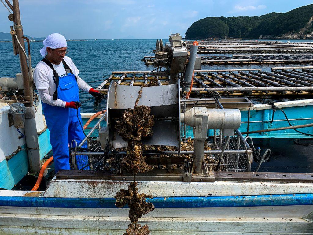 牡蠣の種差し 育った牡蠣の収穫風景