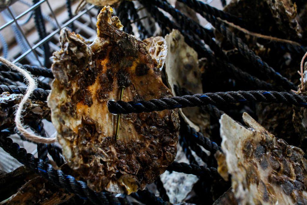 牡蠣の種差し 釘打ちをした牡蠣の種