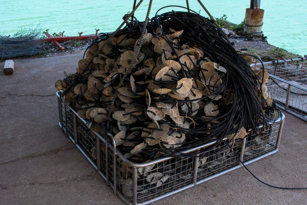 牡蠣の種差し 束ねた牡蠣の種ロープの山