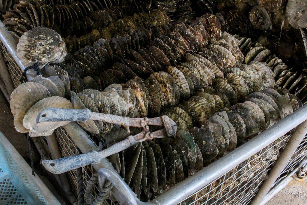 牡蠣の種差し ワイヤーを切る前