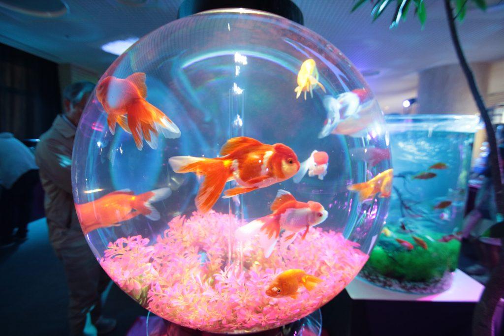 金魚アクアリウム