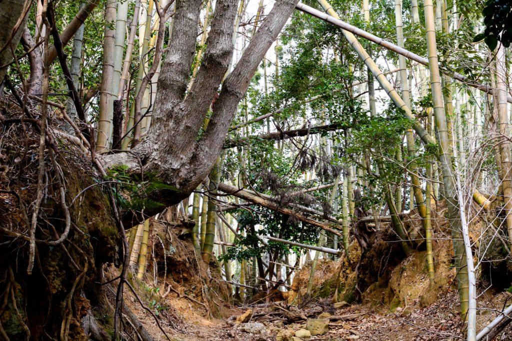 鳥羽市藤野郷で暮らす杉田さんとまち歩き 赤土山竹やぶ 雰囲気