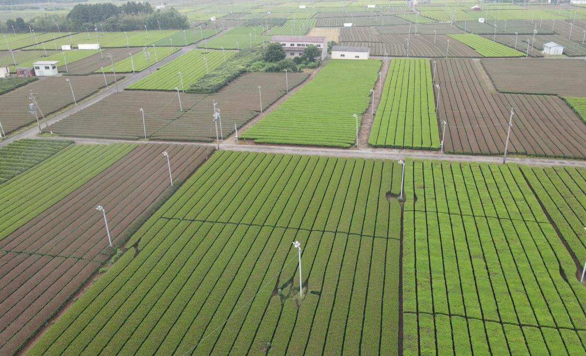茶畑の比較